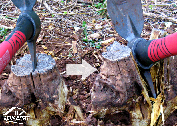 Stump Removal; splitting with cutter mattock to ease removal | www.habitathome.com