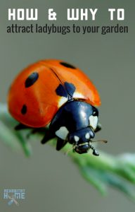 How to attract ladybigs to the garden to eat aphids and other harmful bugs and insects. #gardening