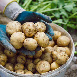 Gardening potatoes for beginners
