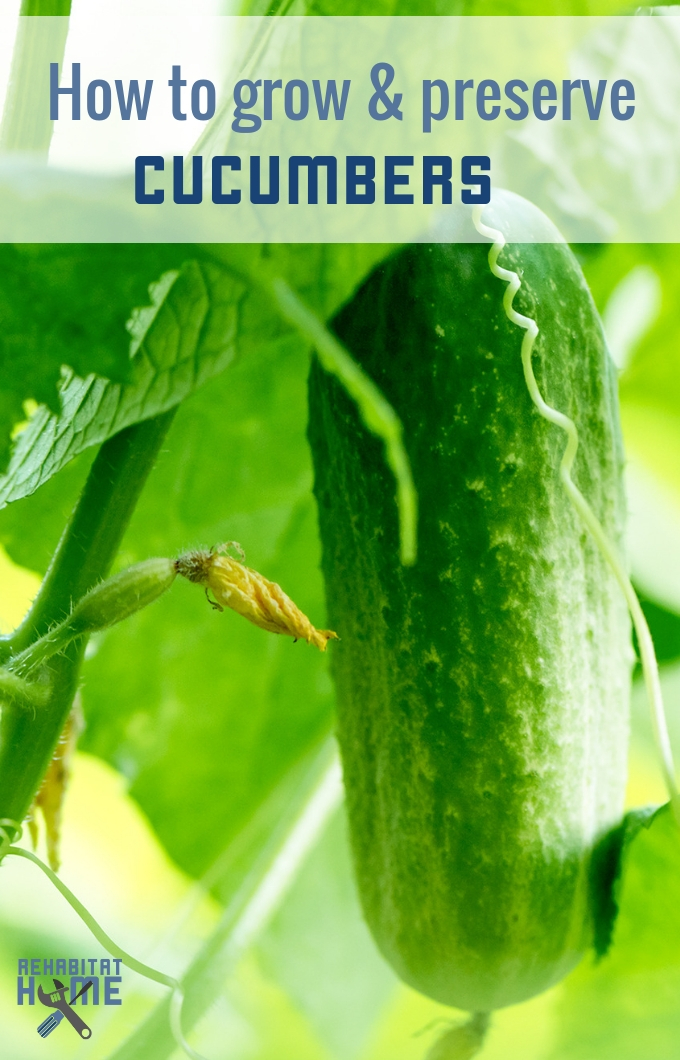 Learn how to successfully grow and preserve cucumbers. they're great for your health and an easy crop to manage. #Rehabitathome #gardening