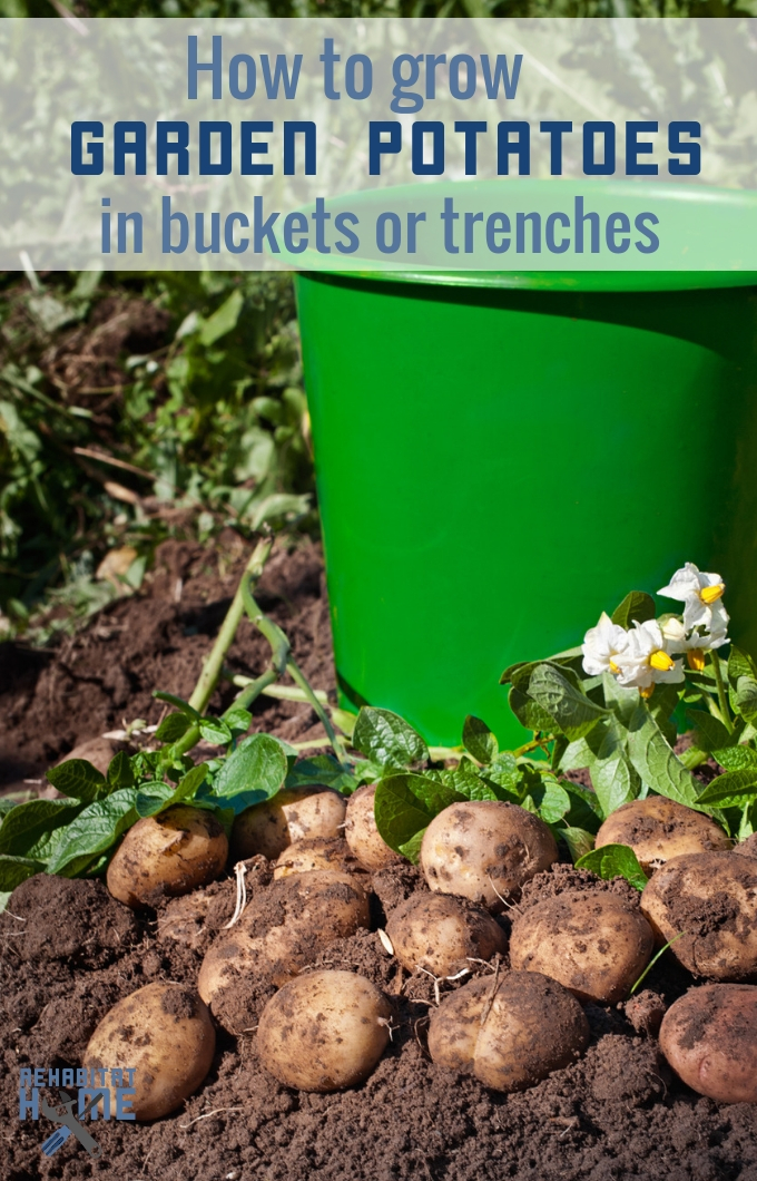 How to grow potatoes. Whether you have a lot of space for trenches and hilling or need to grow them in buckets and barrels here's a go-to guide for garden potatoes. #rehabitathome #rehabitat #gardening #potatoes